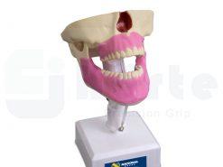 Manequim Com Todos os Dentes e Gengiva - 4100G
