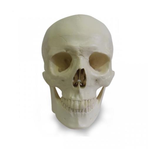 12254 - Crânio Radiopaco Com Todos Os Dentes e Bloco De Apoio