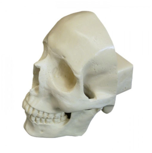 9003 - Crânio Frontal Com Todos Os Dentes