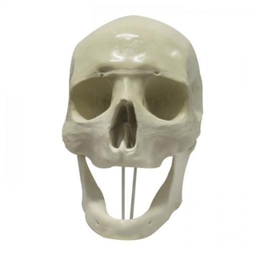9005 - Crânio Frontal Edêntulo